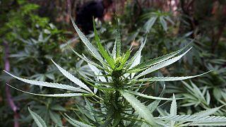 México legaliza la marihuana con fines recreativos