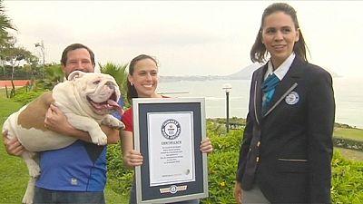Bulldog breaks skateboarding Guinness World Record – nocomment