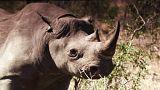 Már nem tiltott áru a rinocérosz szarva Dél-Afrikában