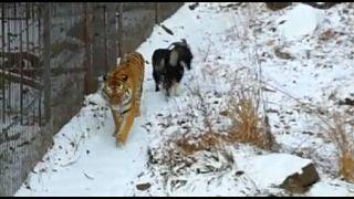Что важнее - еда или дружба? Тигр Амур выбирает дружбу