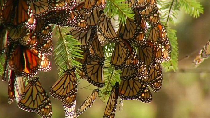 الفراشات الملكية تصل إلى موطنها الشتوي في المكسيك