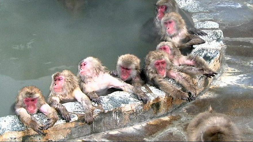 Japonya: Maymunların jakuzi keyfi