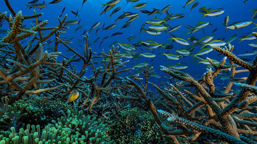 Image: Coral Reef Ocean CLownfish