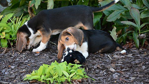 Η πρώτη γέννηση σκυλιών με τεχνητή γονιμοποίηση