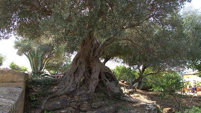 Lybie: Pleins feux sur l'Olive à Tripoli.