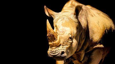 Afrique du Sud: un rhinocéros très convoité