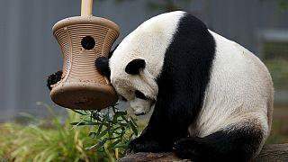 DC zoo's newest giant panda cub makes media debut