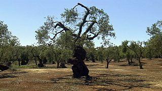 تعليق عمليات قطع أشجار زيتون يفترض أصابتها ببكتيريا فتاكة في جنوب ايطاليا