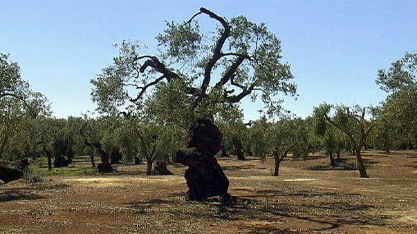 Detienen la tala de 2000 olivos afectados por una bacteria
