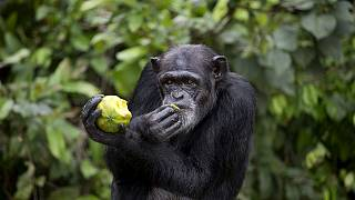 The tragic story of Liberia's research Chimpanzees
