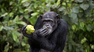 The tragic story of Liberia's research Chimpanzees