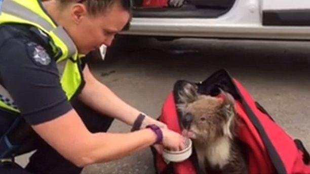 Koala rescued from Australian bushfire