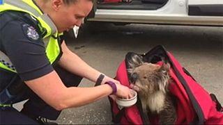 Australie : un koala réconforté après des incendies de forêt