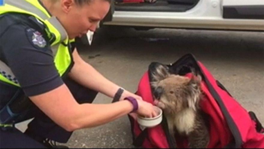 Equipos de rescate salvan a un koala después de incendios forestales en el sur de Australia