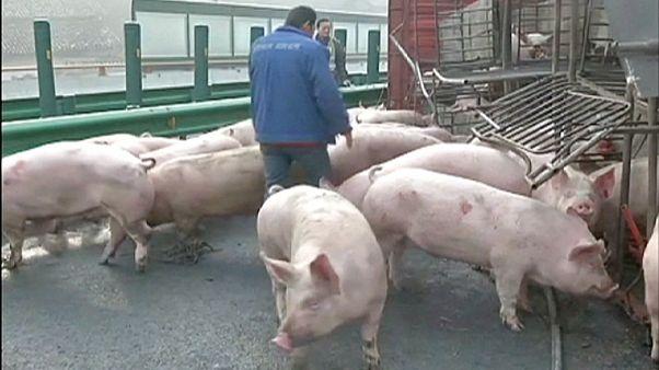 Свиньи на дороге