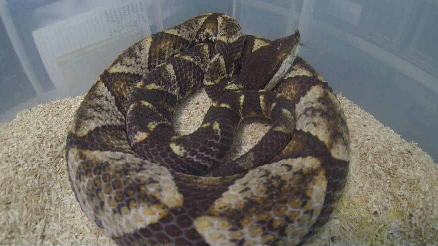 Aref'i yılan ısırdı, peki ölümcül zehirden şifa bulmak mümkün mü?