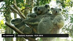 Koala bears one cub, adopts two