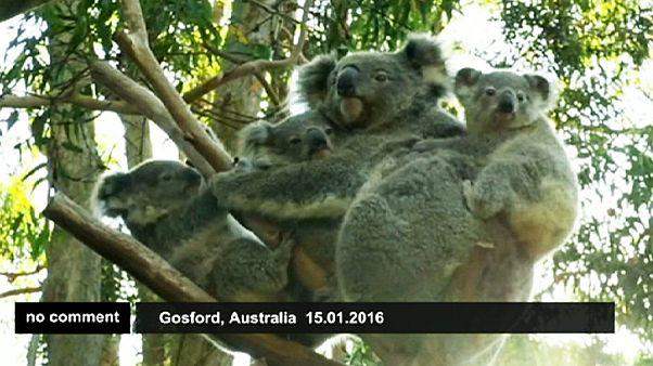 Örökbefogadott két kölyköt egy koala