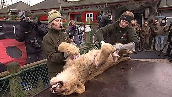 Oroszlánboncolás egy dán állatkertben