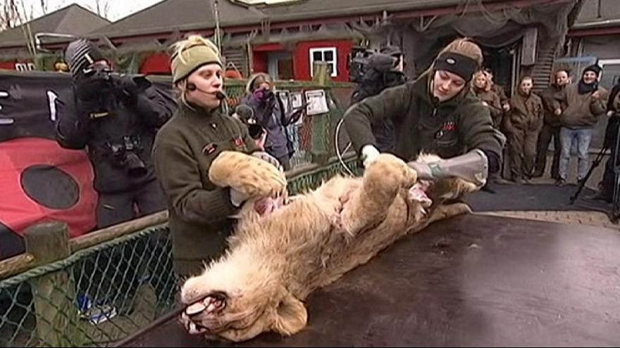 Danish zoo dissects lion in public