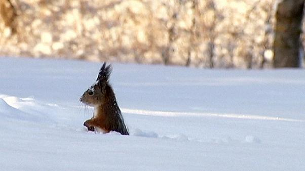 سنجاب يغوص في الثلوج بحثا عن الطعام