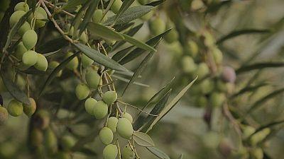 Gli scarti dell'olio di oliva come combustibile per il barbecue, l'azienda greca esempio di economia circolare