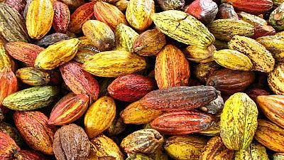 Nigeria cocoa industry in desperate straits as grinders mull shutting down