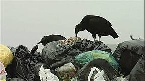 Vultures help combat illegal garbage dumps in Peru
