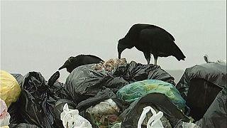 النسور للتخلص من القمامة في ليما