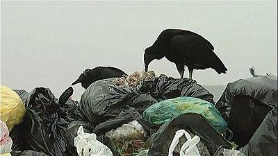 Vultures help combat illegal garbage dumps in Peru