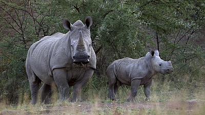 Rhino poaching figures released in South Africa