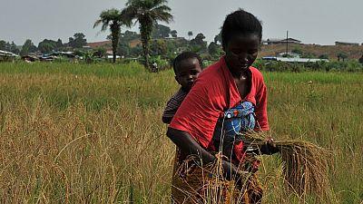 Liberia : hausse de la production du riz paddy