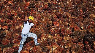 Vers un remplacement de l'huile de palme