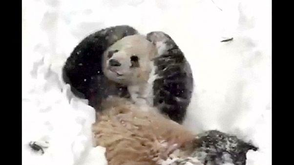 Panda delights in Washington winter wonderland