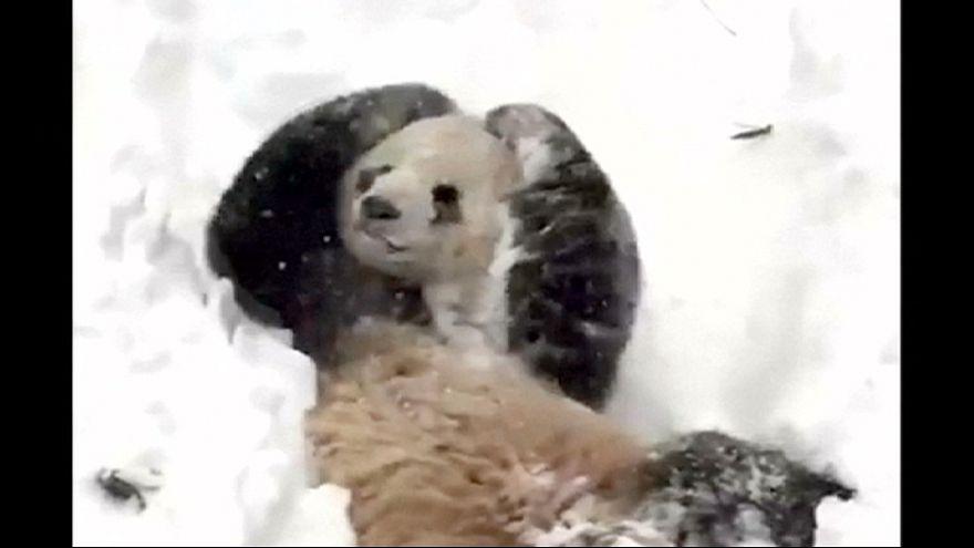 خوشحالی یک پاندا در میان برف