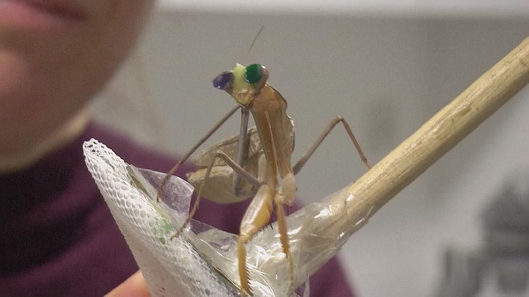 The praying mantis with 3D glasses