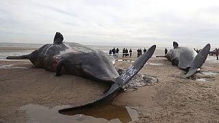 العثور على جثث خمسة حيتان في شواطئ انجليزية