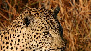 L'Afrique du Sud suspend les permis de chasse de léopards pour 2016