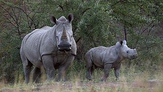 Un bébé rhinocéros sauvé en Afrique du Sud