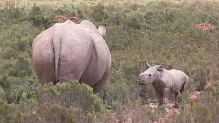 South Africa : Rhino poaching declines slightly