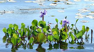 Water Hyacinth: Benin turns scourge into viable resource