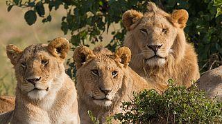 Plus de 100 lions découverts dans le parc Alatash en Ethiopie