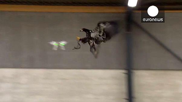 watch] Dutch police train birds of prey to target ill-eagle