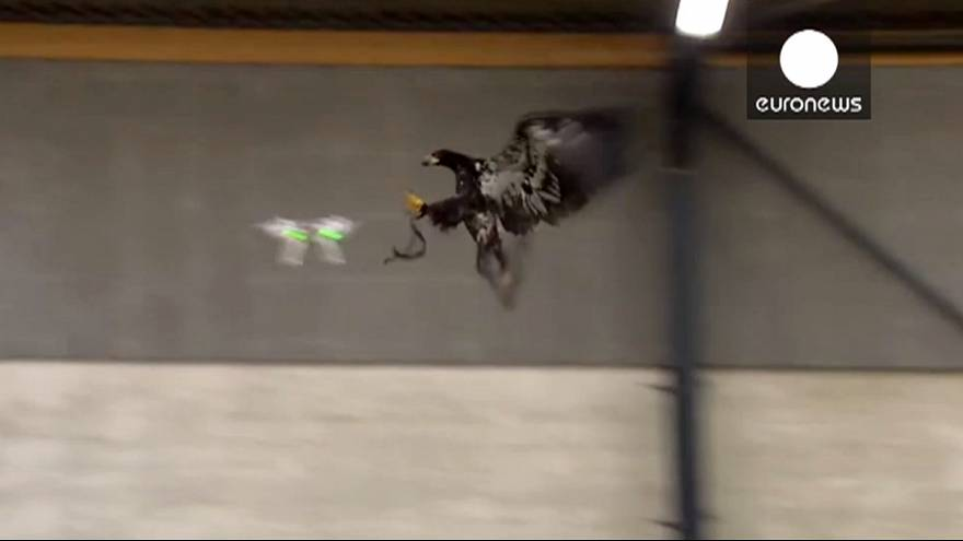 [watch] Dutch police train birds of prey to target ill-eagle drones