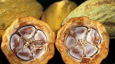 La production de cacao devrait chuter de 12 % en Côte d'Ivoire