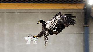 استفاده از عقاب برای زمین گیر کردن پهپادها در هلند