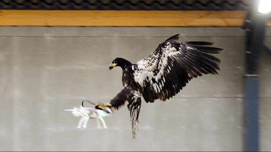صقور مدربة لاصطياد الطائرات في هولندا
