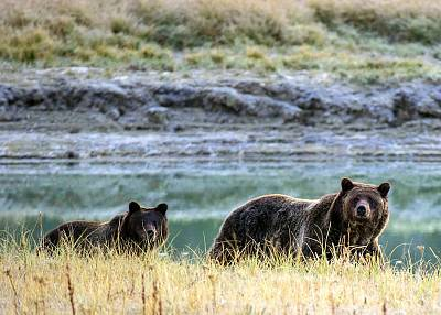 A grizzly bear mother and her cub walk near Pelican Creek in the Yellowstone National Park, Wyoming, in 2012. Grizzly bears native to Yellowstone and the surrounding area were removed from the endangered species list in 2017.