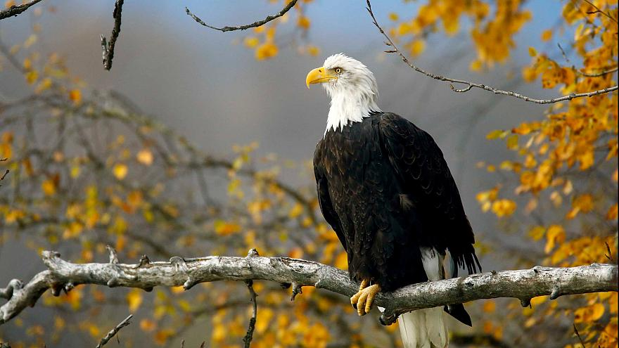 Image: FILE PHOTO: A bald eagle sits in a tree in the Chilkat Bald Eagle Pr