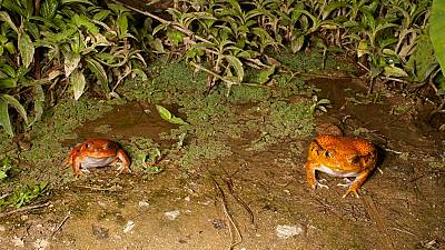 Madagascar: Eradication of toxic toad